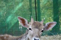 Fallow-Deer