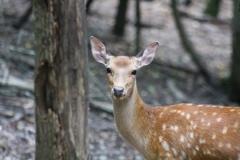 axis-deer
