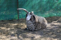 jacobs-four-horned-sheep